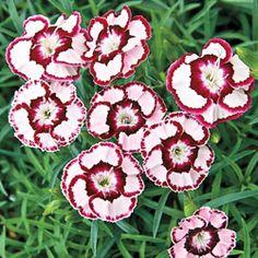 Raspberry Swirl Carnation