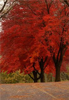 Must-Have Shade Tree in the North - 'Red Sunset' Maple