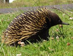 Australian Echidna, sometimes known as the spiny anteater.