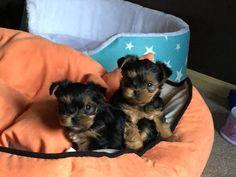 Yorkshire Terrier: Mi Tobby con su hermano...eran tan pequeñitos!!