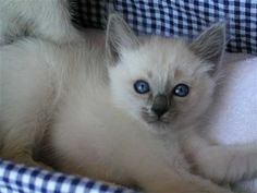 Balinese Cats: Photos and Breed Information