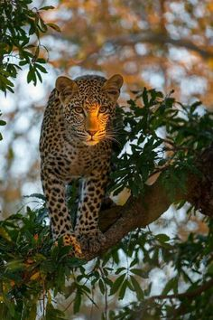 by Alexandr Sanin on Leopard Big Cats, Cool Cats, Cats And Kittens, Beautiful Cats, Animals Beautiful, Animals And Pets, Cute Animals, Gato Grande, Ocelot
