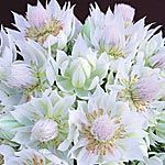 Blushing Bride Serruria florida This plant is best grown in a pot. Its dainty, long lasting flowers make a pretty display. When flowering the plants may be brought inside the house for a day or two at a time. Inside Plants, Holiday Festival, Flower Making, Botany, Outdoor Gardens, Wedding Flowers, Flora, Blush, Bride