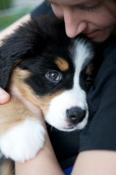 bernese mountain puppy. I've always loved these dogs!