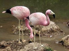 Flamant des Andes / Andean Flamingo