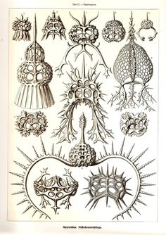 Ernst Haeckel Art Print Beautiful 2010 by NaturalistCollection