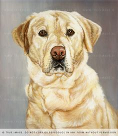 """ Yellow Labrador. """