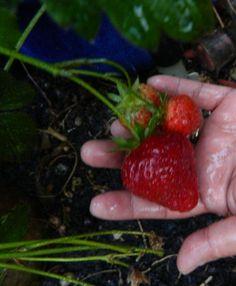 Fruit: Strawberries Forever; Berries: Strawberries Forever