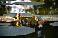 """""""Jardín Botánico Canario"""" means """"Botanical Garden of the Canaries"""", while the additional words """"Viera y Clavijo"""" honor the pioneering Spanish cleric and scholar José Viera y Clavijo Weekend Deals, Cleric, Water Lilies, Botanical Gardens, Travel Guide, Lotus, Travel Destinations, Spanish, Road Trip Destinations"""
