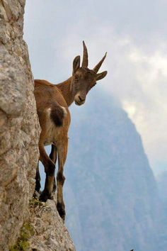 ♥ ~ ♥ Goats ♥ ~ ♥ Sure Footed Mountain Goat Nature Animals, Animals And Pets, Funny Animals, Cute Animals, Wild Animals, Beautiful Creatures, Animals Beautiful, Photo Animaliere, Dangerous Animals