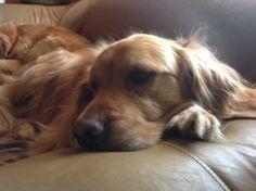 Hurley the Giant Golden Retriever