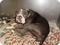 THIS SWEETHEART NEEDS A LOVING FAMILY TO SAVE HER LIFE. PLEASE SHARE! ARTEMIS Breed: Pit Bull Terrier Color: Unknown Age: Senior Size: Large 61-100 lbs (28-45 kg) Sex: Female ID#: 7586165-A1505454 Contact info Shelter: North Central Animal Care Center - Los Angeles Animal Services Pet ID #: 7586165-A1505454 Phone: (888) 452-7381 ext.141 Address: 3201 Lacy Street Los Angeles, CA 90031