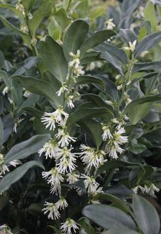 Sarcococca x confusa - taller and more fragrant than dwarf sweet box, less hardy.
