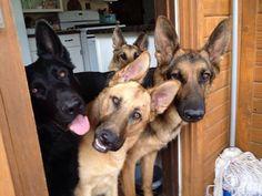 Beautiful dogs!!! Wow!  ❤