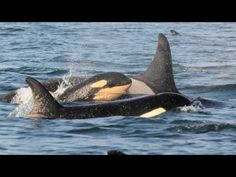 Granny, a 103-year-old orca who lives with her pod in the waters off the San Juan Islands