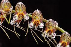 Spilotantha ferrusii - Photo by Ron Parsons © 2009, and His Flowershots Website