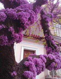 Purple blush on an Eastern Redbud tree. Purple Flowers, Beautiful Flowers, Purple Wisteria, Purple Trees, Purple Garden, Colorful Roses, Exotic Flowers, Beautiful Pictures, Purple Love