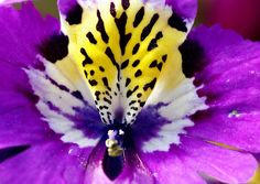 Schizanthus by nobuflickr,