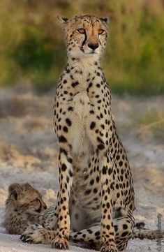 A cheetah mother and cub in Namibia's Etosha National Park.