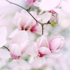 spring colors..saucer magnolia