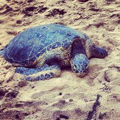 Hawaiian Sea Turtle. I love turtles!!