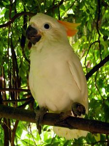 Kakatua Jambul Jingga (Parrot Orange Crested)  Indonesian Endemic bird is only found in forest of primary and sekunder of island of Sumba which is located in archipelago of Small Sunda.