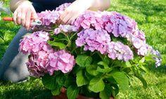La poda de hortensias: en el siguiente briconsejo de jardinería veremos cómo se realiza la poda de hortensias de manera correcta.
