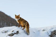 "superbnature: "" Red fox by vignolami http://ift.tt/1Alrbt0 """