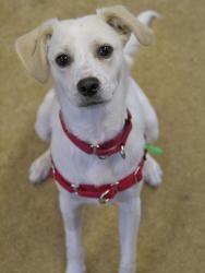 BABY JET is an adoptable Labrador Retriever Dog in Boston, MA.