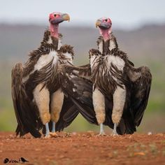 ✨ Lappet-faced Vulture, South Africa ✨  Congratulations  @lislegwynn . ✨Your bird photo has been featured! ✨ . Thanks for tagging #nuts_about_birds . #lislegwynn_nab . Photo chosen by Hub Mod Barbi @pjlvr . cc  @Cowpi32  @Jeffreypkarnesphoto @Wgubitz  @Billhoag1  @sandra_celebrates_tasmania  ___________________________________________________________ ✨Please identify the Bird on your post; we are unable to feature you if the Bird is unidentifiable! A Location is also very helpful ✨