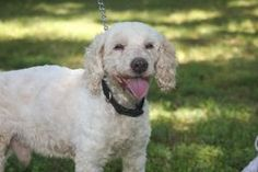Rolfie is an adoptable Bichon Frise Dog in New Monmouth, NJ. Rolfie is a very sweet 18 lb white cockapoo. He is a mature little guy. He is calm , affectionate and very much in need of a home . He was ...