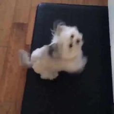 This is Norbert. part Chihuahua, Cairn Terrier, & Lhasa Apso. Cute Baby Animals, Animals And Pets, Best Funny Pictures, Cute Pictures, All Breeds Of Dogs, Cairn Terrier, Lhasa Apso, Therapy Dogs, Dog Boarding