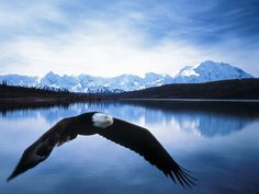 Bald Eagle In Flight, Denali National Park, Alaska. Six million acres of wild land, bisected by one ribbon of road . there are not enough words to describe the beauty. Haines Alaska, Alaska Images, Eagle Wallpaper, Hd Wallpaper, Wallpapers, Cool Pictures, Cool Photos, Free Photos, North To Alaska