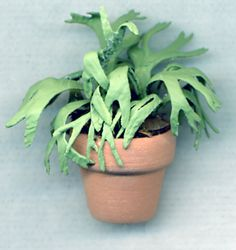 Lemon Button Fern Nephrolepsis Cordifolia 39 Duffii
