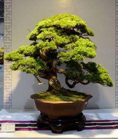 Bonsai - possible model for Hinoki top