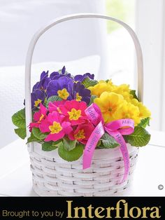 Happy Birthday Spring Primrose Basket. Help them celebrate their springtime #birthday with this very pretty display of flowering #primroses. There are three different, brightly coloured varieties all planted in white softwood circular basket – which means this birthday gift can be enjoyed from the moment it arrives.