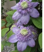 Blue Light Clematis (Clematis x Vanso P.P.# 15953) - Monrovia - Blue Light Clematis (Clematis x Vanso P.P.# 15953) -- This might be a bad choice for my lot, but I love this plant.