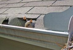 What Happens When Animals Nest in Gutters? https://goo.gl/v4RUsM Get rid of this problem and contact a professional gutter cleaner! If you would like a free quote get it here https://goo.gl/KEQXdG  #gutter #guttercleaning #guttersystem #raingutters #gutterrepairs