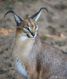 Caracal Wild Cat Portrait