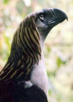"A Great Philippine Eagle.  ""Eagles"""