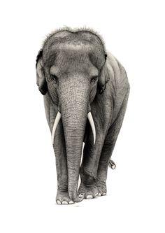 Asian elephant - Ferdy Remijn