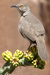 Curved Bill Thrasher. These birds often nest in Ocotillo plants to protect their nests.