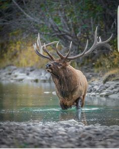 Basic Turkey Hunting Tips Elk Pictures, Deer Photos, Zebras, Wapiti, Coyote Hunting, Pheasant Hunting, Archery Hunting, North American Animals, Photo Animaliere