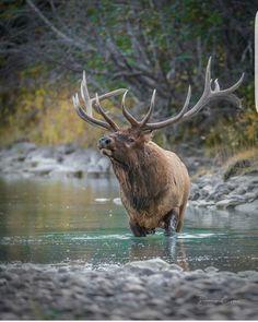 Trophy bull elk in the stream