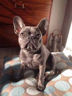 Blue Frenchie. English Bulldogs, French Bulldogs, Blue Frenchie, French Bulldog Blue, Terrier Mix, Service Dogs, Boston Terrier, Boxer, Cute Animals