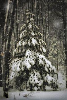 Winter photograph, pine tree print, nature print, fir tree, home decor, Fine Art…