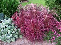 Fireworks Fountain Grass (Pennisetum setaceum 'Fireworks' P.# - Monrovia - Fireworks Fountain Grass (Pennisetum setaceum 'Fireworks' P. Would be awesome divider between our backyard and neighbor's! Red Fountain Grass, Fountain Garden, Pennisetum Setaceum, Growing Grass, Summer Plants, Ornamental Grasses, Front Yard Landscaping, Landscaping Ideas, Modern Landscaping