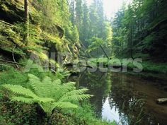 Woodland View with Ferns Along Stream Landscapes Photographic Print - 41 x 30 cm
