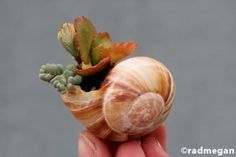 """Miniature garden: Shell-Potted Succulents~ How fun to have lots of these spread around or grouped together for a """"mini"""" garden…."""