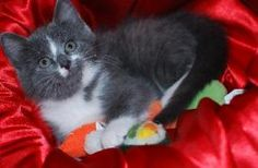 Bellatrix is an adoptable Domestic Short Hair - Gray And White Cat in Saint Paul, MN. I'm Bellatrix and I'm so cool! I'm super social, playful and adventuress. Whenever I hear a big sound I run to go ...
